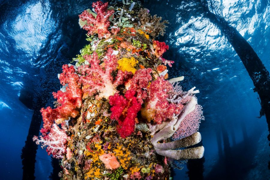 A Thriving Coral Reef in Alor, Indonesia; this is what humans have the potential to maintain by working to mitigate climate change.