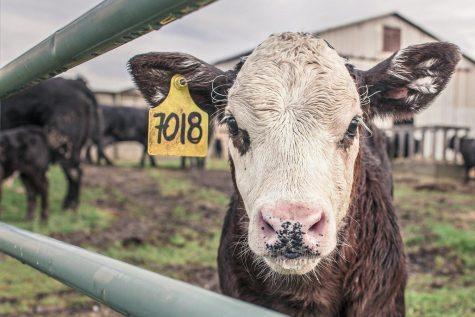 A Farm Cow